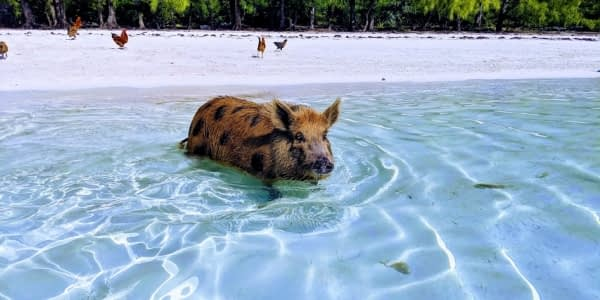 A spotted pig swimming in the Bahamas